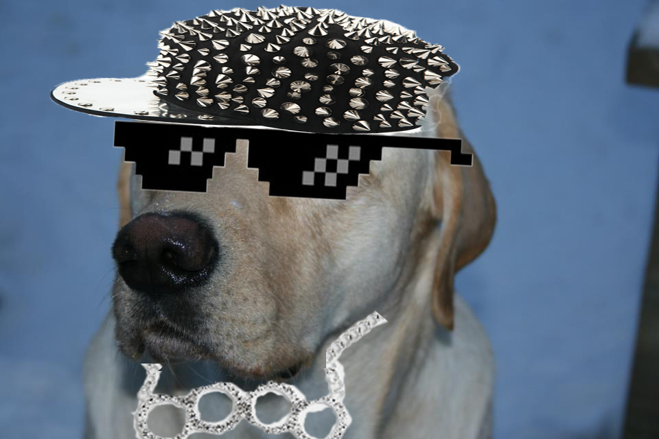 Yellow Labrador with Bling